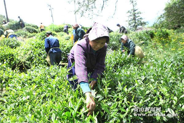 """休宁:右龙再现""""生产队采茶""""景观"""