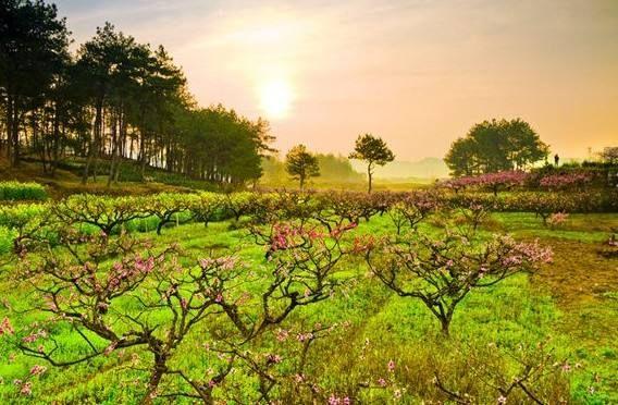 3月28日前后,黟县五里千亩桃花将盛放