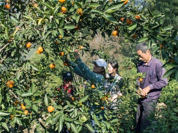小红橘促增收