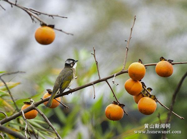 【组图】*上葡京娱乐|安徽*澳门老葡京|黄山:柿子红了  椋鸟来了
