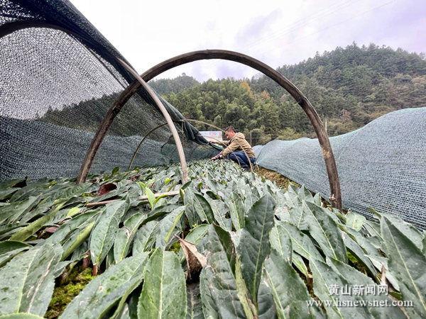 上葡京网站|祁门县优质茶苗销售旺