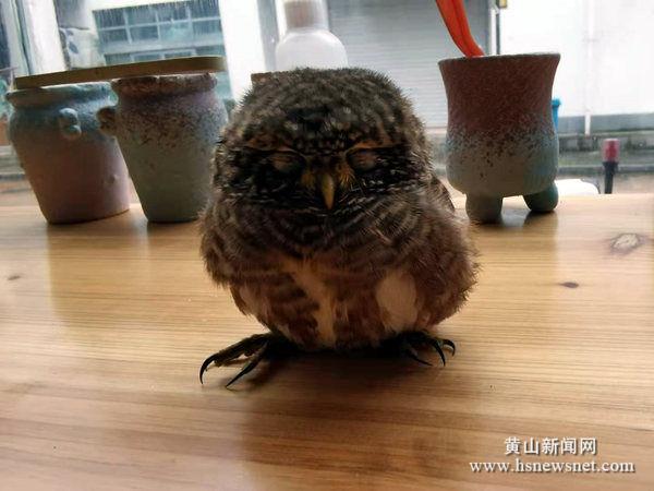 *澳门老葡京|老葡京|黄山区汤口镇警民携手共救受伤幼鸟斑头鸺鹠