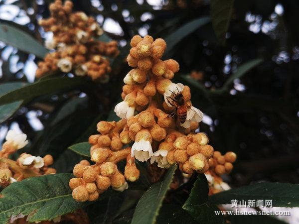 老葡京赌场|歙县坑口乡:果农争当护花使者