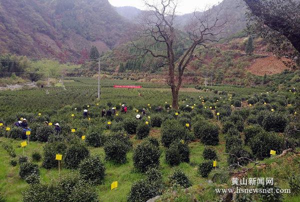 上葡京网站|祁门县箬坑乡:绿色防控+政策保险推动茶业提质增收